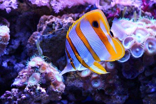 butterfly-fish-3475887__340.jpg